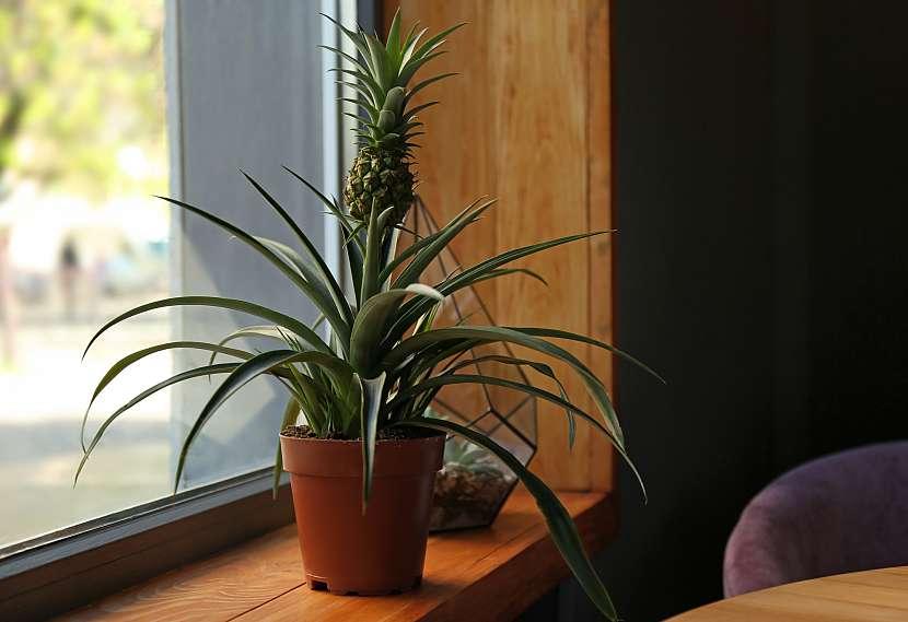 Ananasovník na okenním parapetě