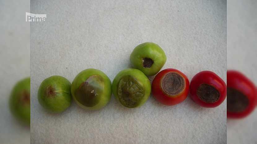 Zkažené plody rajčat
