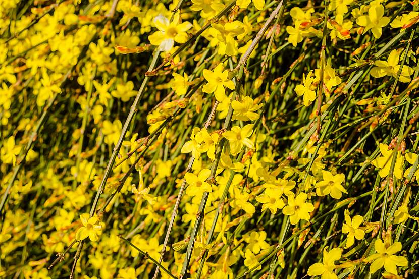 Jasmín v plném květu