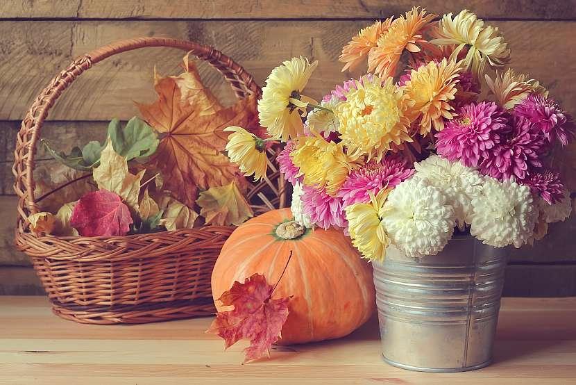 Nádobové chryzantémy patří k oblíbeným podzimním dekoracím