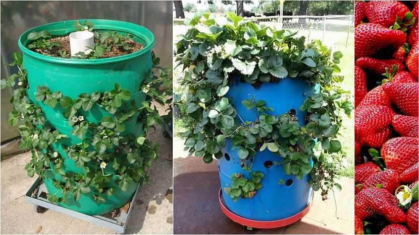 Jak vypěstovat čisté jahody: V sudu či barelu