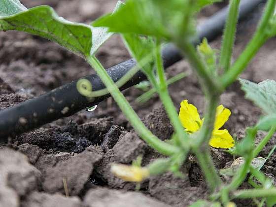 Dopřejte rostlinám dostatek závlahy (Zdroj: Depositphotos)