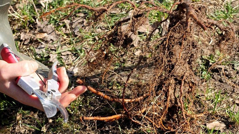 Jak sázet ovocné stromy: zastřihněte konce kořenů