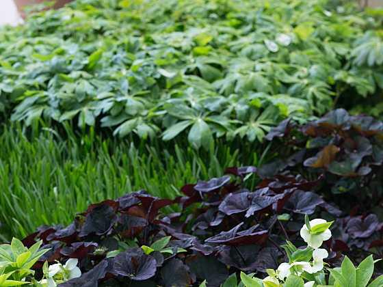 Ornamentální a kontrastní půdopokryvná výsadba pod korunami stromů. O jarní kvetení se postará čemeřice, barvu zajišťuje popelivka (Zdroj: Daniela Dušková)