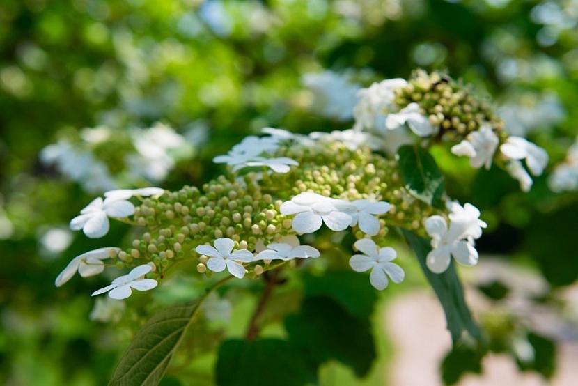 Kaliny kvetou