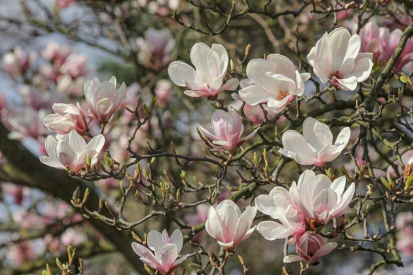 Magnolie: Vznešená okrasa jarních zahrad