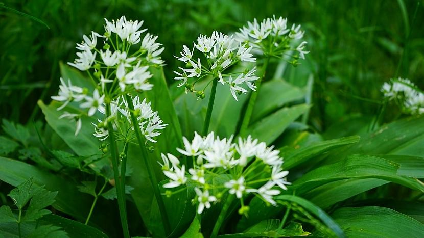 Česnek medvědí (Allium ursinum) kvete drobnými bílými kvítky