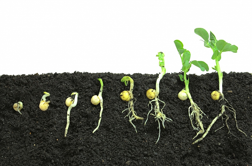 Vývoj rostlinky