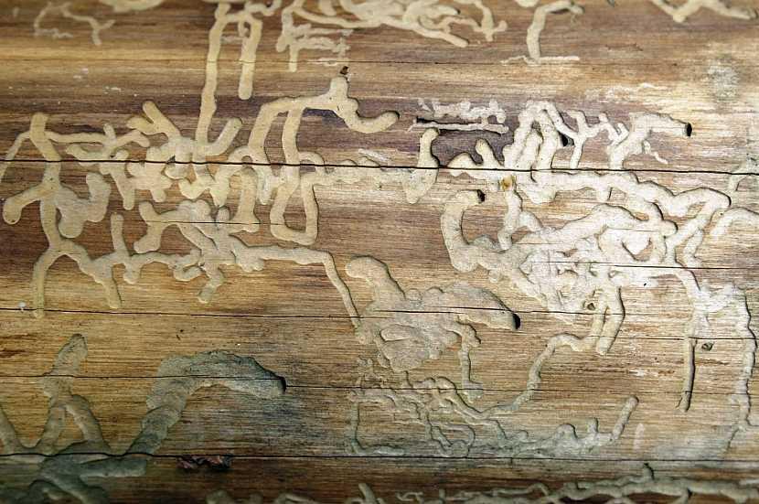 Ochrana dřeva je důležitá například proti čevotočům
