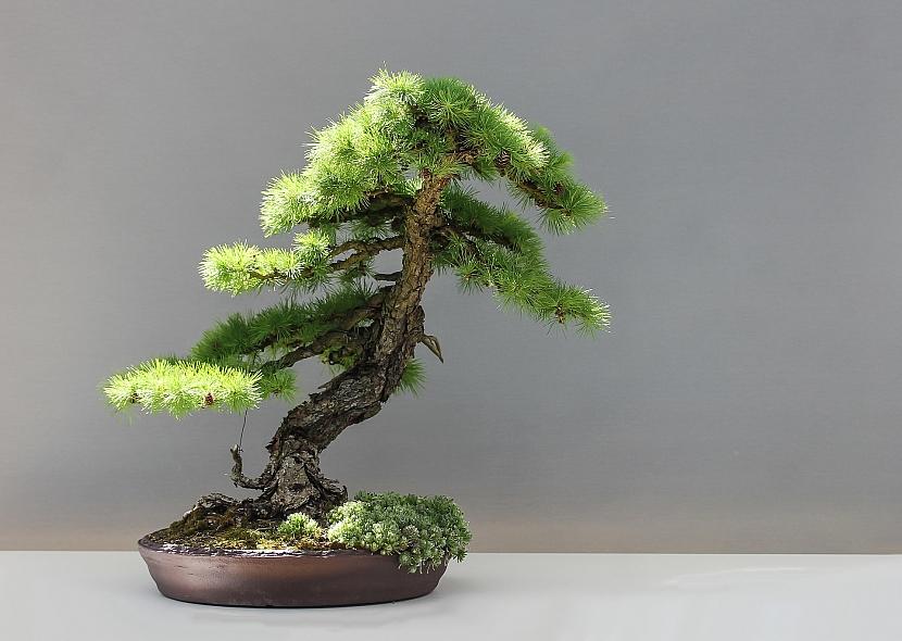 Vypravte se na výstavy bonsají za krásami rostlinných miniatur 2