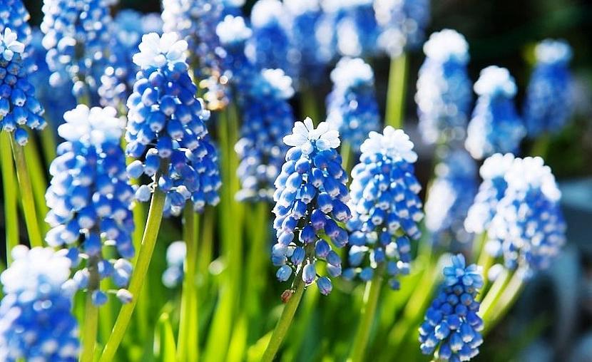Modřenec modrý (Muscari azureum)