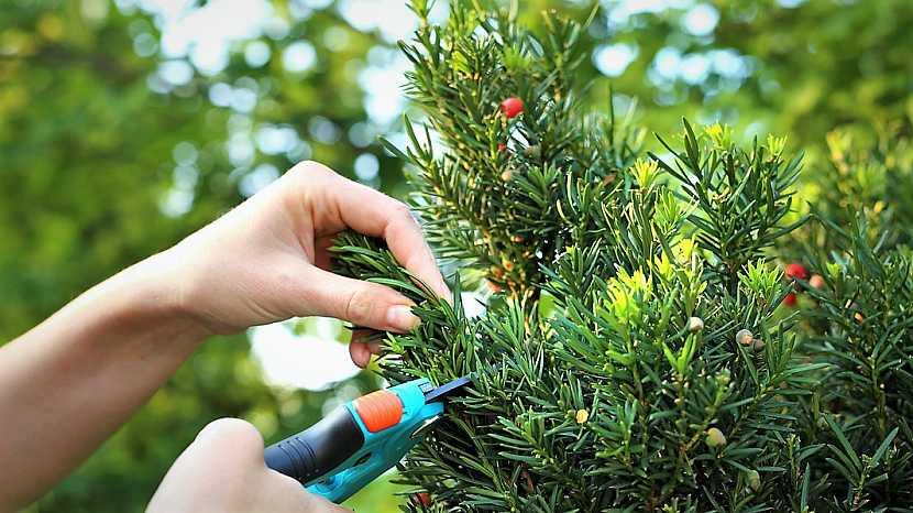 Stříhání živého plotu: tis (Taxus) je jehličnatá dřevina, která dobře snáší i silný řez,