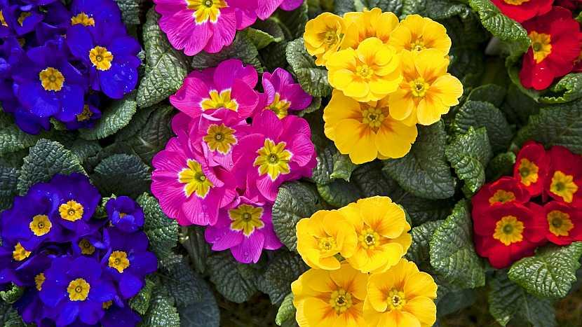 Prvosenka jarní (Primula vulgaris) neboli primule či petrklíč patří k prvním jarním květům
