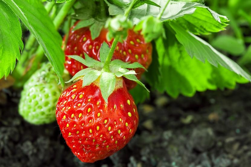 Pěstování jahod