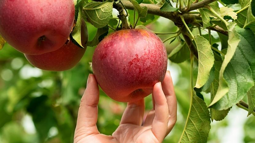 Předpověď počasí a zahrada: sklízíme jádrové ovoce