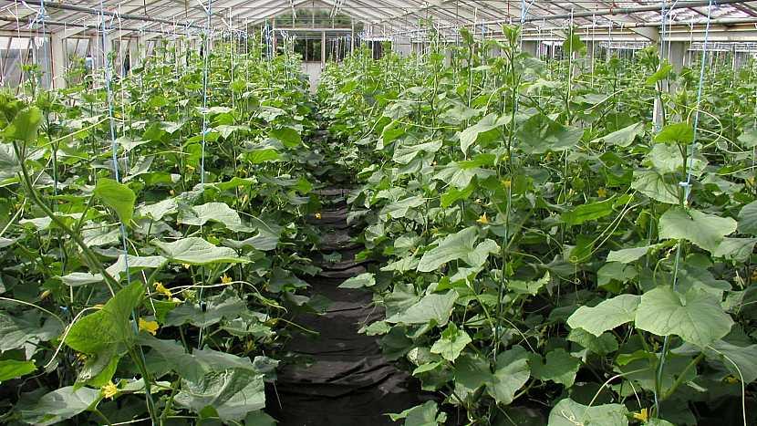 Okurky na síti: vertiko systém ve skleníku