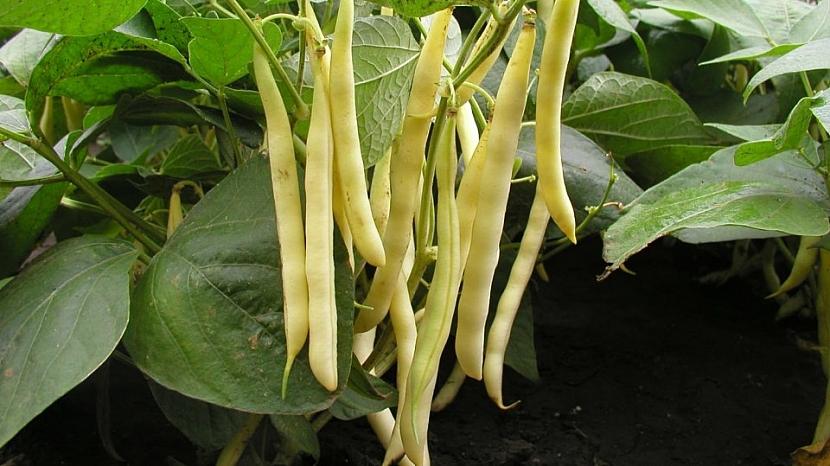 Odrůda Aidagold