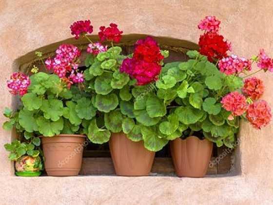 Aby se vám muškáty odměnily krásnými květy, věnujte jim péči (Zdroj: Depositphotos)