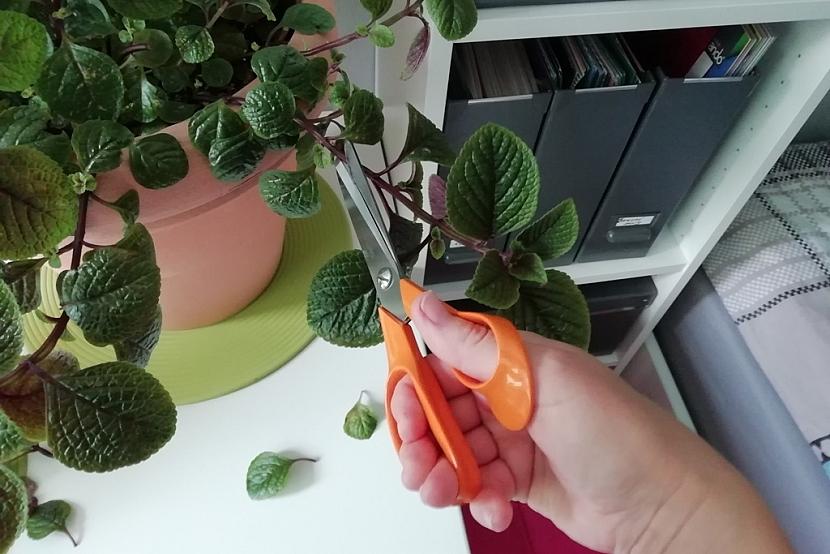 Dlouhé a silné výhony odstřihněte a odstraňte spodní listy