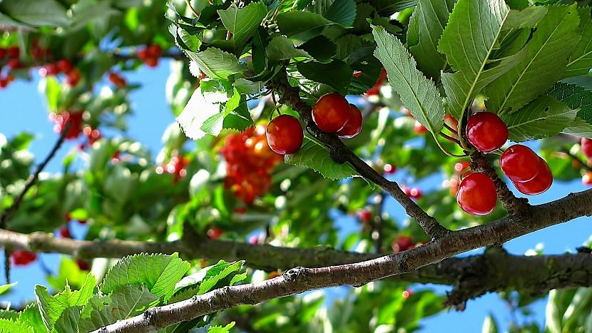 Na podzimní se prořezávání peckoviny - třešeň, višeň, slivoň, meruňka, broskvoň