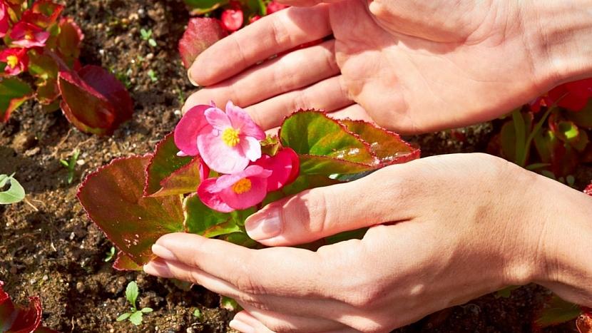 Pěstování begonie začíná v lednu: sazenice vysazujeme ven v půlce května