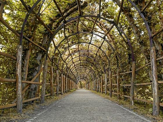 Habr: živý plot, který zdobí i v zimě