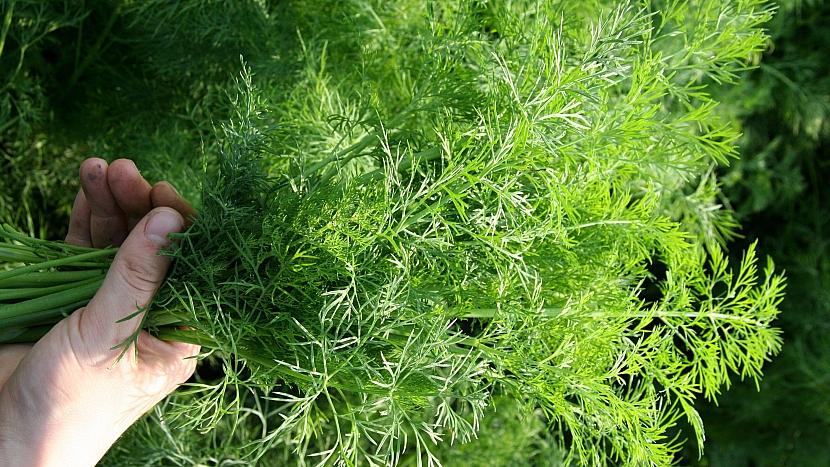 Kopr vonný je zelenina, koření i léčivka aneb I v srpnu ještě máme čas, abychom ho začali pěstovat 3