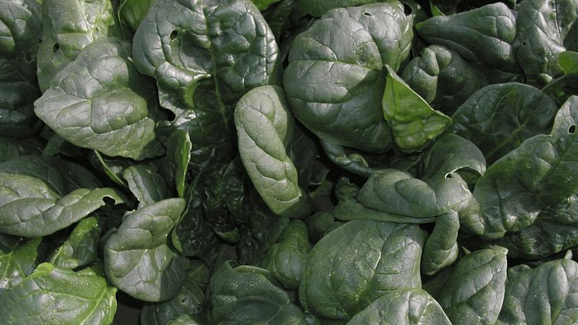 Špenát: hybridní odrůda Trumpet F1 tvoří mohutné růžice tmavozelených listů