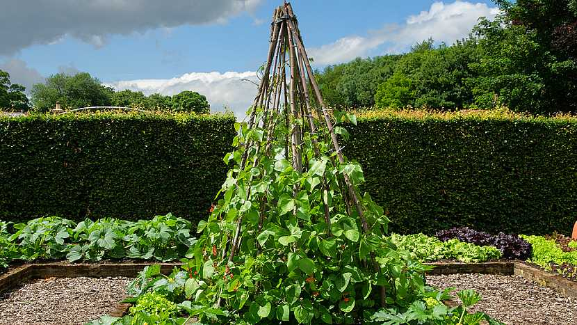 Výsev fazolí: tyčkové odrůdy fazolí vyžadují oporu