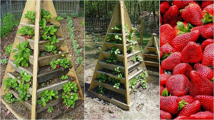 Jak vypěstovat čisté jahody: Dřevěná pyramida