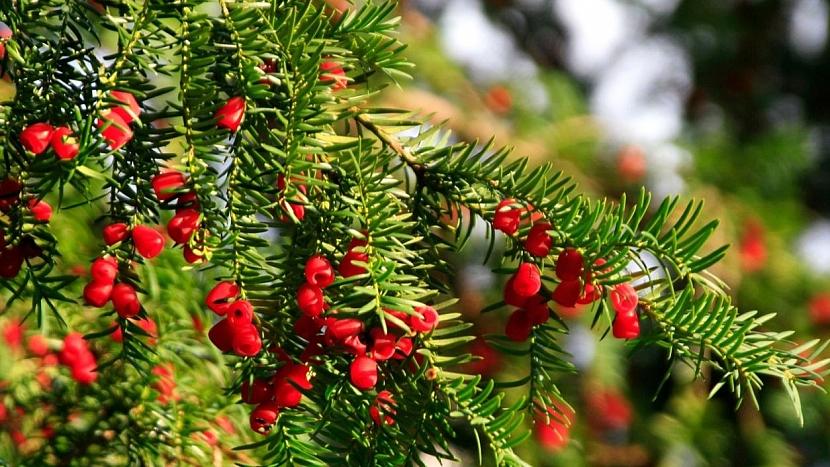 Jedovaté rostliny: tis červený (Taxus baccata)