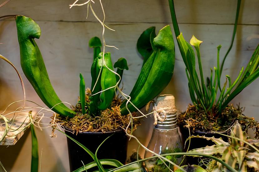 Květiny do koupelny: Špirlice (Sarracenia)