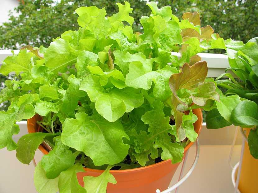 Salát v květináči