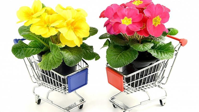 Co víte o pěstování petrklíčů: prima tip na nákup