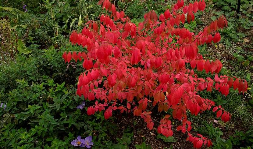 Eonymus phellomanus je dekorativní zejména na podzim a to díky rudě vybarveným listům