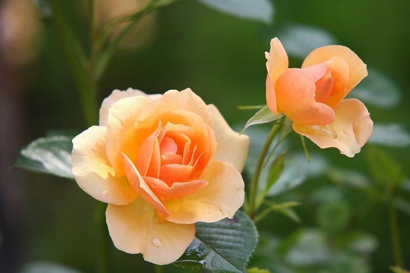 Aby růže krásně kvetly je nutné jim věnovat náležitou péči a také je chránit před chorobami a škůdci