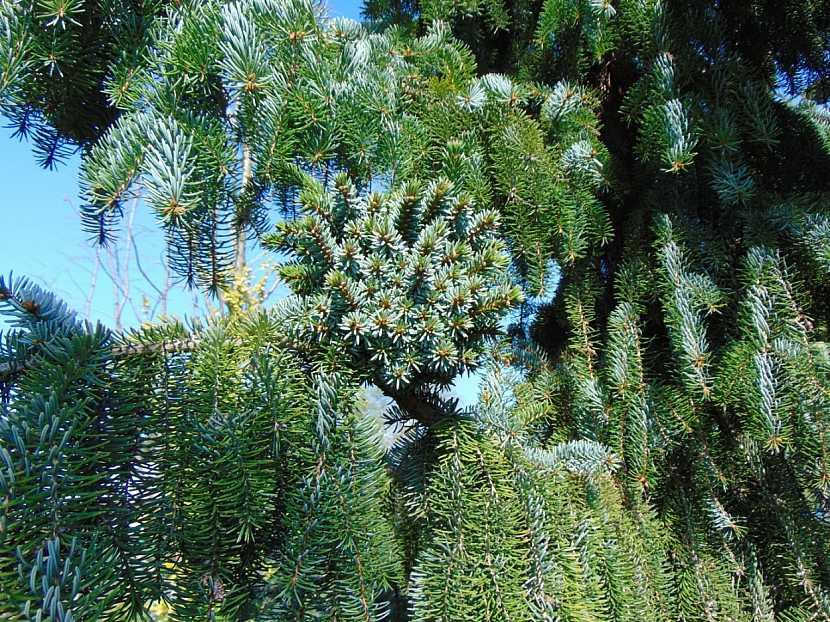 Čarověník na smrku Picea omorik