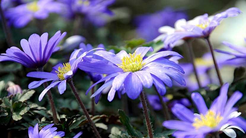 5 nejkrásnějších jarních cibulovin s modrými květy: sasanka vábná (Anemone blanda)