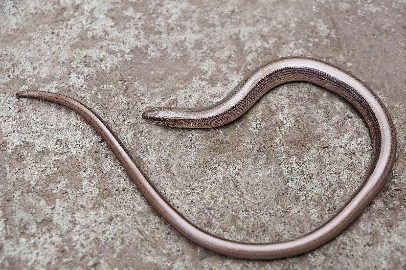 Slepýš není had, ačkoliv nemá nohy, ale ještěrka