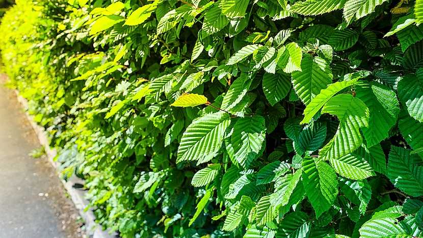 Rostliny vhodné do živého plotu: habr (Carpinus)