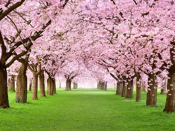 Okrasné jabloně a třešně (Zdroj: Depositphotos)