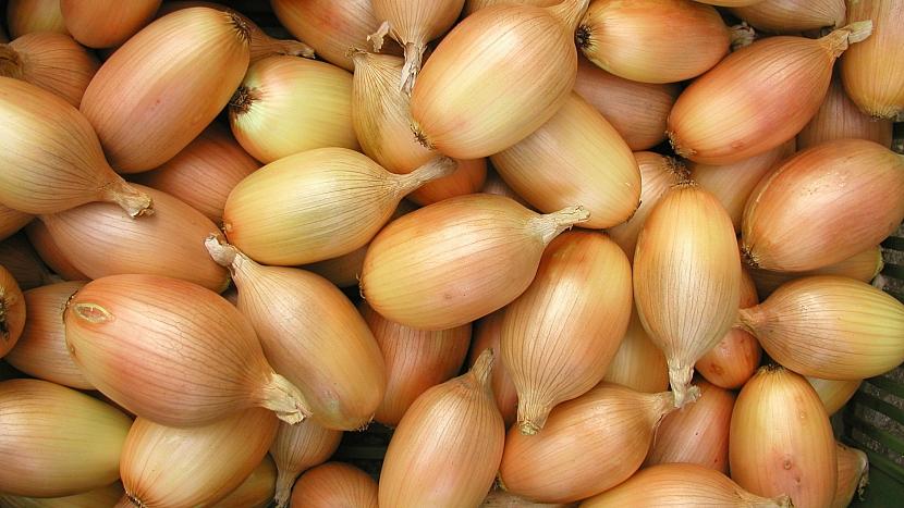 Pěstování cibule: podlouhlá odrůda Elista