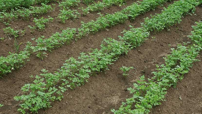 Pastinák setý (Pastinaca sativa) perfektně reaguje na pěstování na hrůbcích