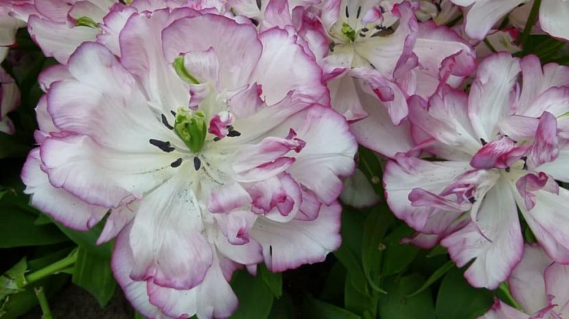 Jak na jaře pečovat o skutečné krále jarní zahrady: Tulipány 3