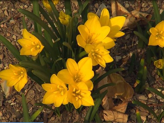 Sternbergii prozáří každou podzimní zahradu (Zdroj: Archiv FTV Prima, se svolením FTV Prima)