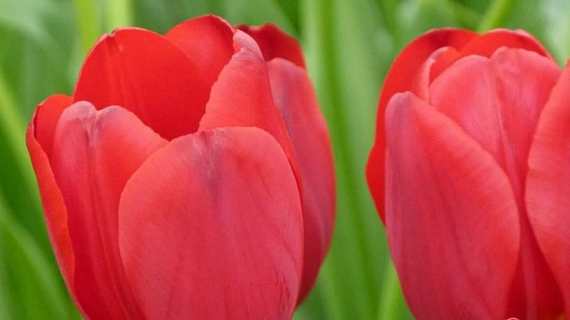 Jak na jaře pečovat o skutečné krále jarní zahrady: Tulipány 6