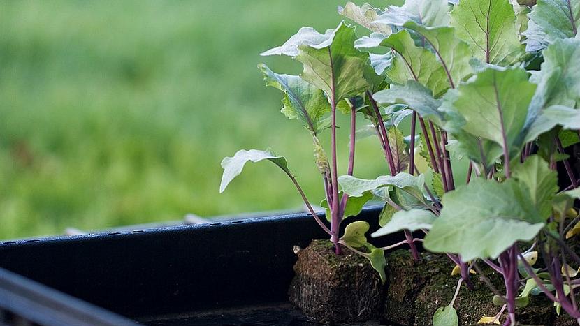 Jak si na záhonku vypěstovat lahodnou zeleninu: Kedlubna modrá, nebo bílá? 2