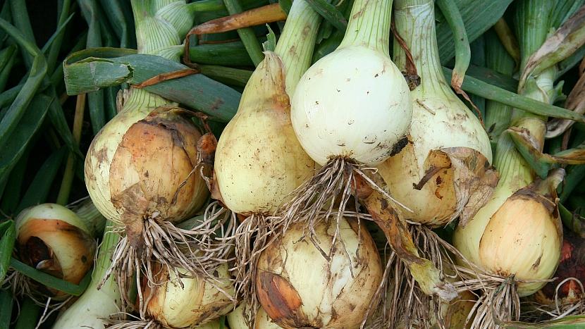 Pěstování cibule: tradiční poloraná odrůda Všetana ze sazečky