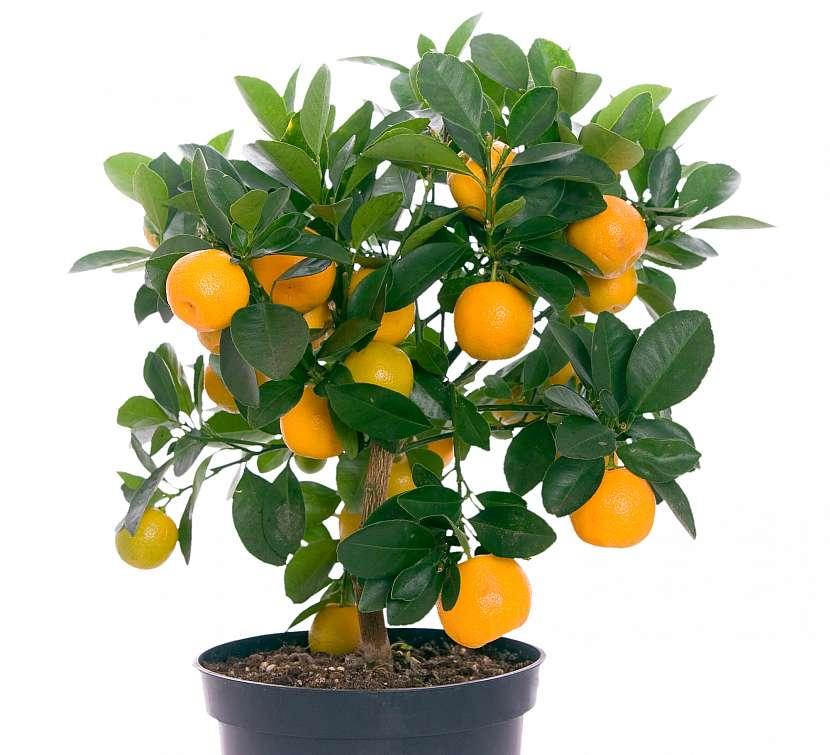 Pomerančovník ve vysoké nádobě