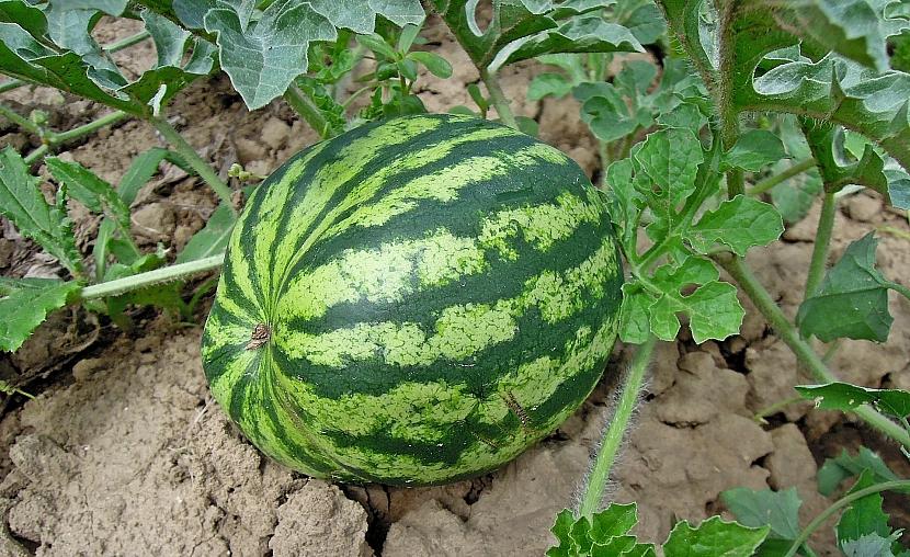 Melouny z vlastní zahrádky: polní pěstování melounů